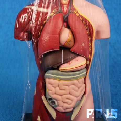 anatomisch model torso man organen anatomie Edu Toys